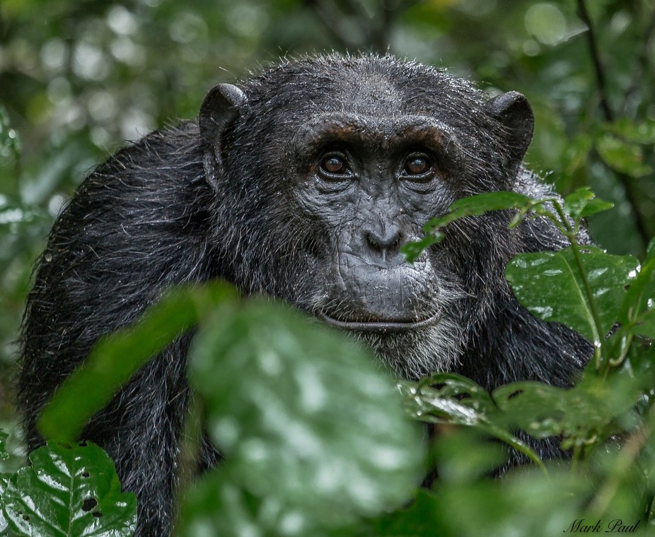 Chimp in Kibale, Uganda