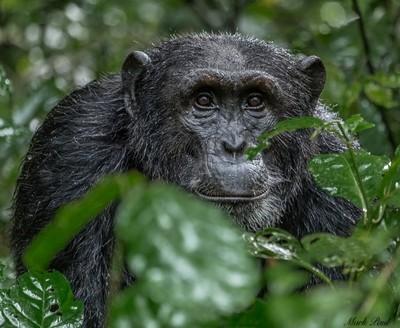 Chimp in Kibale, Uganda