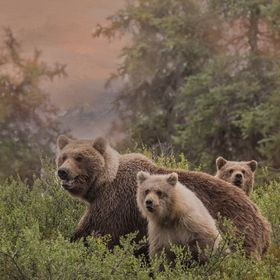 This sow and her cubs stopped just long enough on the hillside to snap a photo!   The other is very protective of her young and they are amazingl...