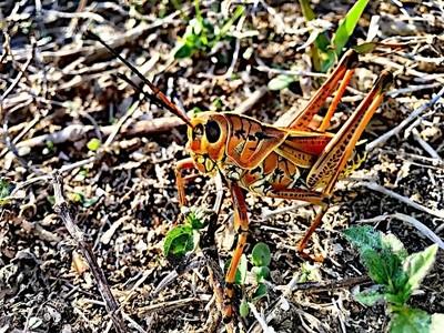a single grasshopper