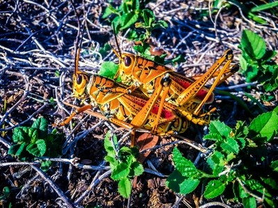 matings grasshoppers