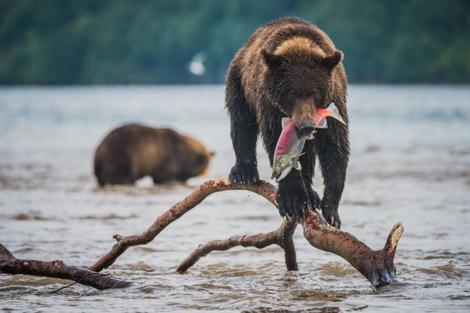 Lucky catch by antonagarkov - Bears Photo Contest