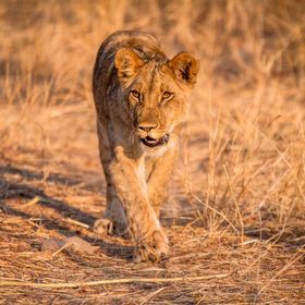 Lion cub on the hunt in Zimbabwe (October 2016)