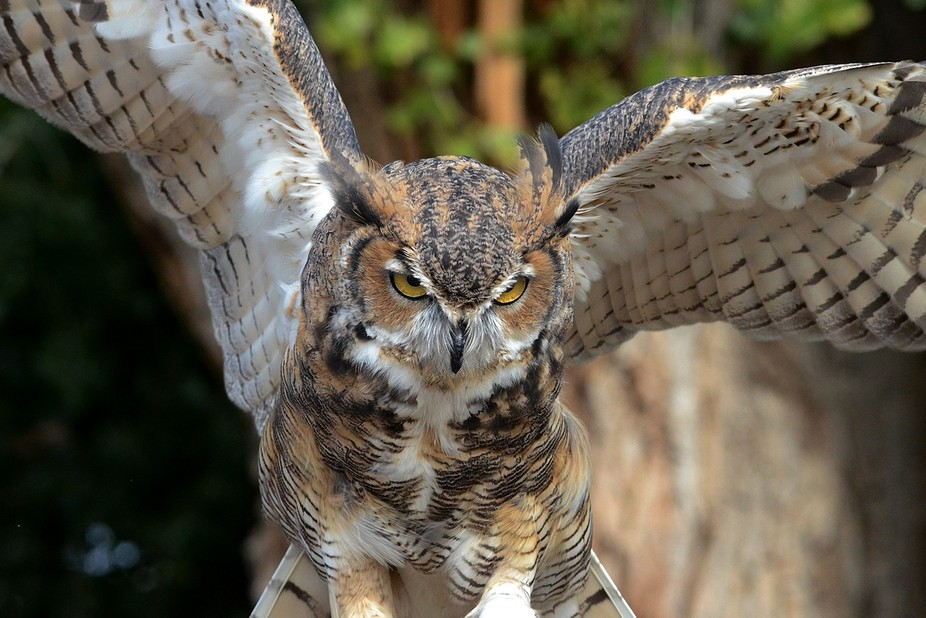 Gorgeous yellow eyes on this Great Horned Owl