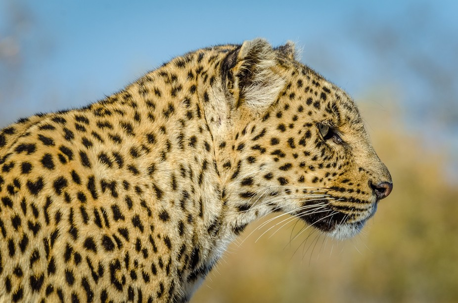 This photo was captured on a photo safari in a South African Game Preserve. It seemed to be posin...