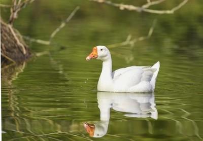 Goose !!