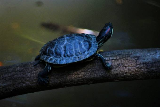 """From Wikipedia, the free encyclopedia:  The red-eared slider (Trachemys scripta elegans), also known as the red-eared terrapin, is a semiaquatic turtle belonging to the family Emydidae. It is a subspecies of the pond slider. It is the most popular pet turtle in the United States and is also popular as a pet in the rest of the world.[2] It has, therefore, become the most commonly traded turtle in the world.[3] It is native to the southern United States and northern Mexico, but has become established in other places because of pet releases, and has become an invasive species in many areas, where it outcompetes native species. The red-eared slider is included in the list of the world's 100 most invasive species[4] published by the IUCN.  Name[edit]  Red-eared sliders are popular pets around the world. Red-eared sliders get their name from the small red stripe around their ears.. The """"slider"""" in their name comes from their ability to slide off rocks and logs and into the water quickly. This species was previously known as Troost's turtle in honor of an American herpetologist; Trachemys scripta troostii is now the scientific name for another subspecies, the Cumberland slider. Taxonomy[edit] The red-eared slider belongs to the order Testudines, which contains about 250 turtle species. It is a subspecies of Trachemys scripta. They were previously classified under the name Chrysemys scripta elegans. The species Trachemys scripta contains three subspecies: T. s. elegans (red-eared slider), T. s. scripta (yellow-bellied slider), and T. s. troostii (Cumberland slider).[5] Description[edit]  Red-eared slider basking on a floating platform under a sunlamp  Plastron of a young red eared slider turtle The carapace of this species can reach more than 40 cm (16 in) in length, but the average length ranges from 15 to 20 cm (6 to 8 in).[6] The females of the species are usually larger than the males. They typically live between 20 and 30 years, although some individuals have lived for"""