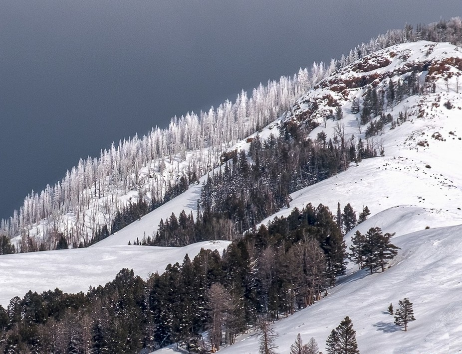 The beautiful ice-caked, snow-covered conifers on Druid Peak, Lamar Valley, Yellowstone.