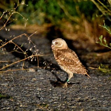 A Burrowing Owl that is tagged . His tag No is 29