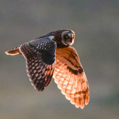 A short eared owl in flight in the evening sun