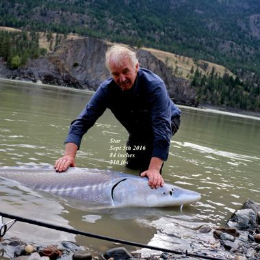 Sturgeon Fishing near Lillooet British Columbia. All these creatures have to be released unharmed. This guy was seven feet long.