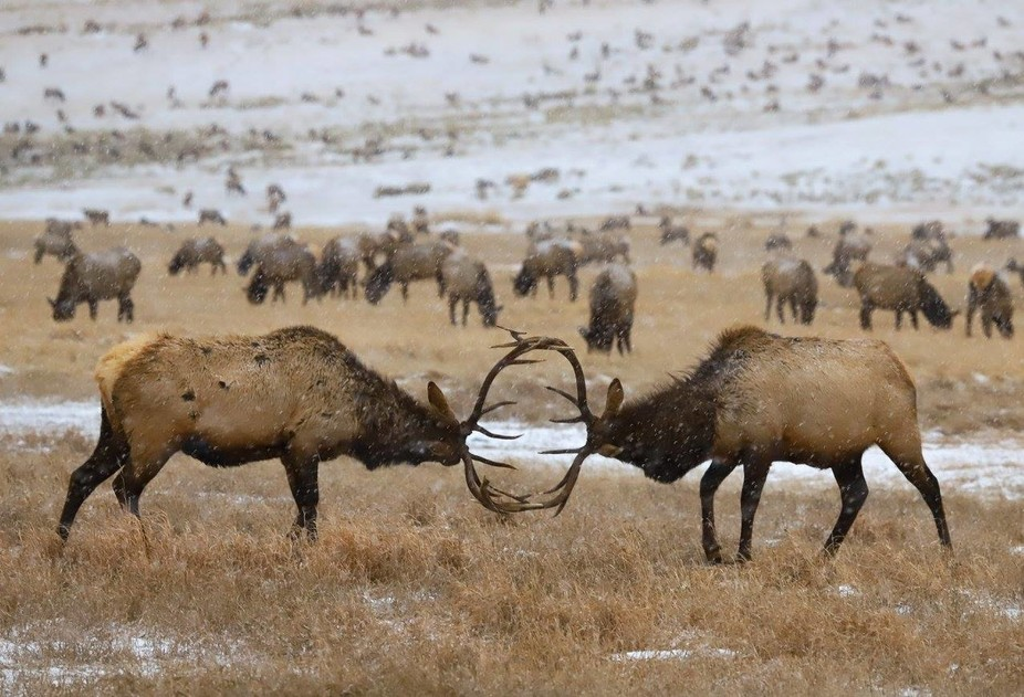 Two Bull Elk sparing with each other.