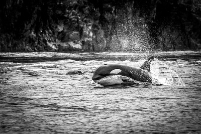 Surfing Orca