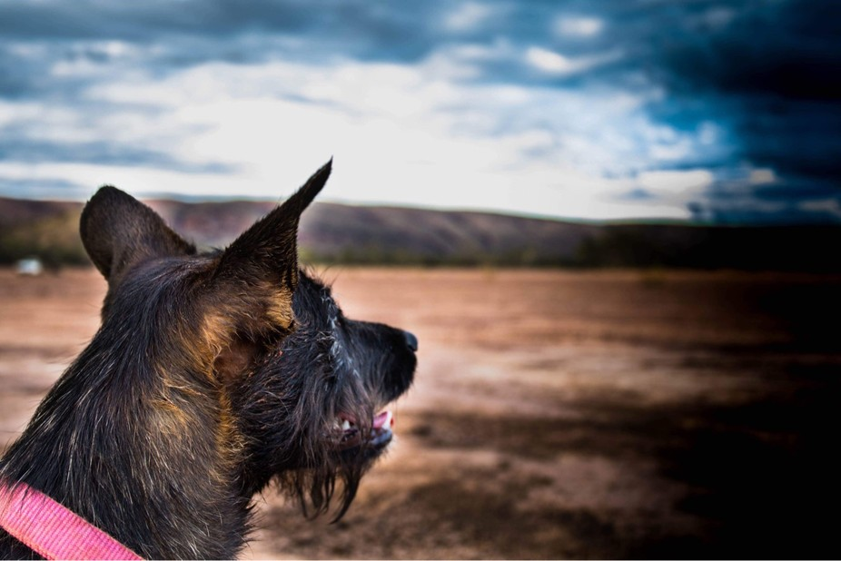 Rescue dog in the middle of the Australian outback