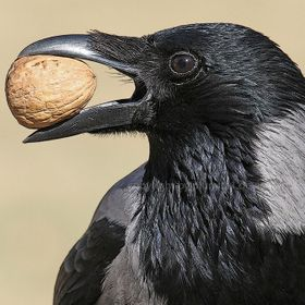 Hooded crow (male) with walnut