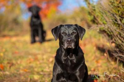 Labrador Retrievers - 0Y6A2284