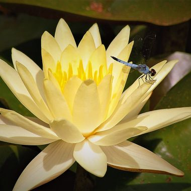 Waterlily & dragon Fly