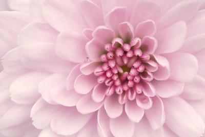 AMP pink chrysantemum