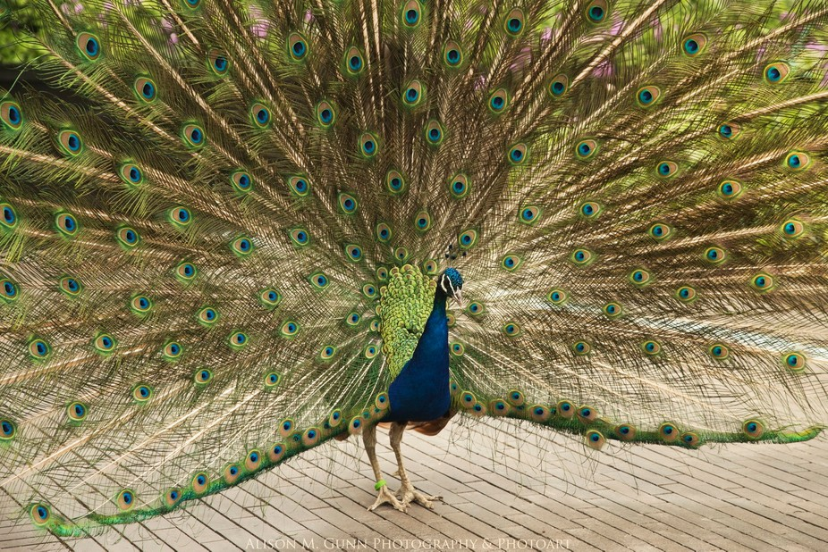The peacocks of Tivoli in Copenhagen will show you what they're made of if you complimen...