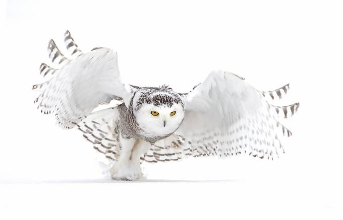 Snowy Owl - Jazz Wings by JimCumming - Subjects On The Ground Photo Contest