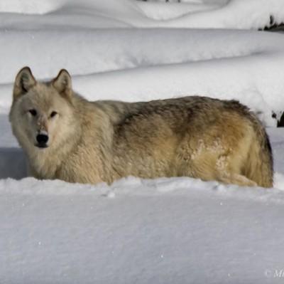 Wapiti Lake Pack Wolf, I'm not your enemy❤️