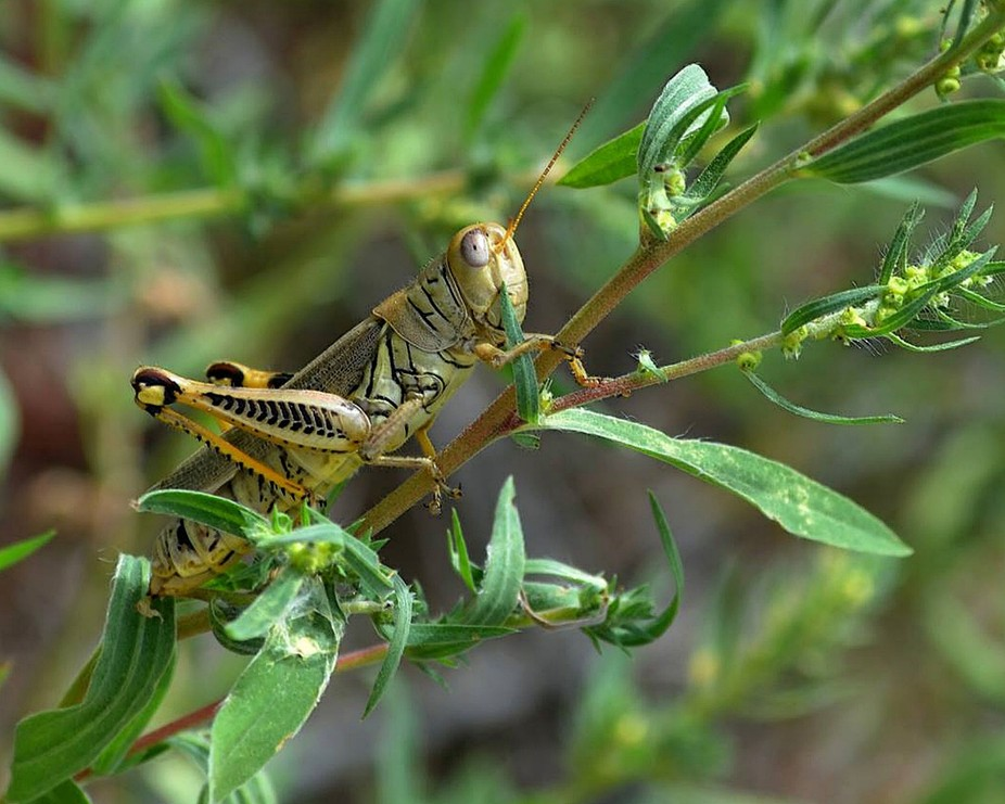 This grasshopper is barely visible as he hides among the green leaves along the Bosque in Albuque...