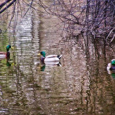 Ducks At Kathryn Albertson Park January 2018 2