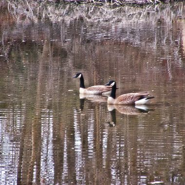 Geese At Kathryn Albertson Park January 2018 3