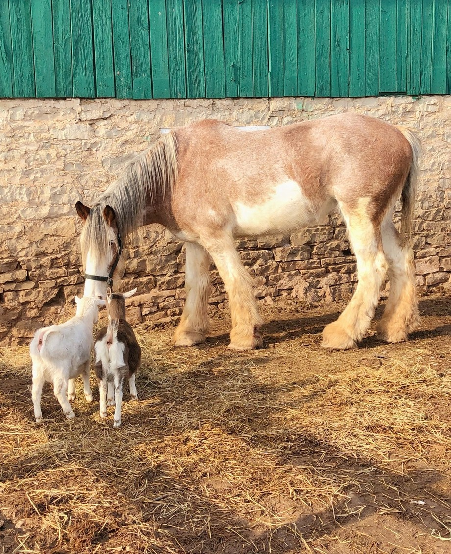 Goats meeting a gentle Clydesdale.