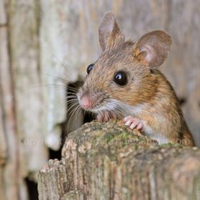Wood mouse waiting for good news