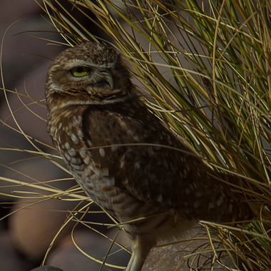 20180131 Burrowing Owl 005