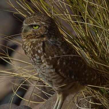 Burrowing Owl spotted at Nellis AFB.