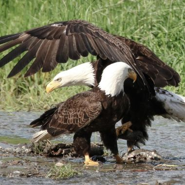 A pair of Bald Eagles in a stream feeding on dead fish.