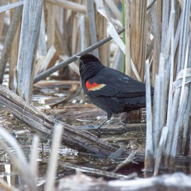 A redwinged blackbird looking for bugs in the bull rushes.
