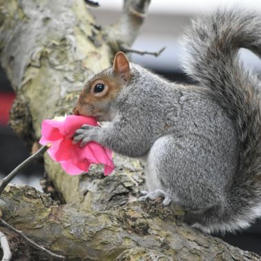 Having destroyed my sunflowers in the summer, this squirrel henceforth named Carmen, has decided that my Camelias make a good snack!