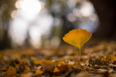 Standind the last one Gingko leaf
