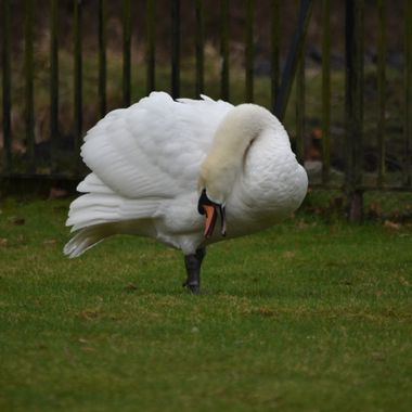 Taken in Bushy Park West London. Two cobs decided to have a fight, this was the pre-match pose by one.