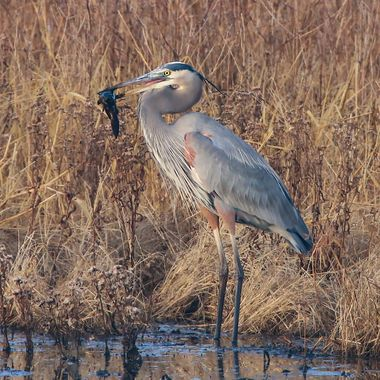 Great Blue Heron showing off his catch of the day.
