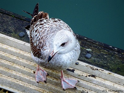 Juvenile Herring Gull (Larus argentatus). Just look at those feet!