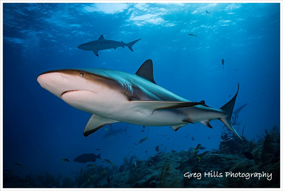 Black tipped reef shark.