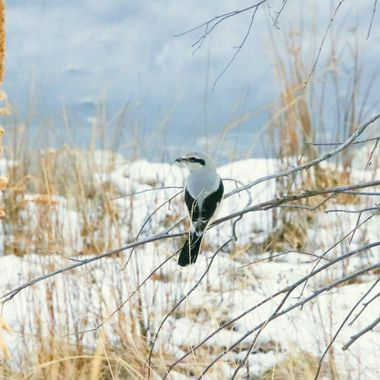 A Northern shrike on a limb near Stump Lake B C