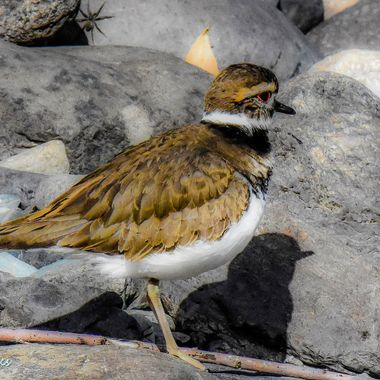 A killdeer that was running around along the riverbank at Lillooet B C. I think he had one eye on the spider and one eye on me.