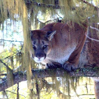 This cougar is quite relaxed up a tree.