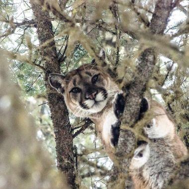 Treed Cougar  copy
