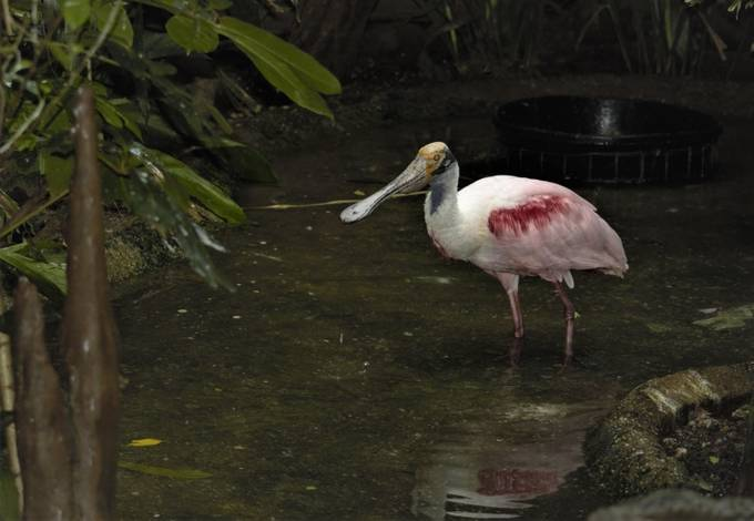 """From Wikipedia, the free encyclopedia Roseate spoonbill Roseate spoonbill (Ajaia ajaja).JPG in the Pantanal, Brazil Conservation status  Least Concern (IUCN 3.1)[1] Scientific classification Kingdom:Animalia Phylum:Chordata Class:Aves Order:Pelecaniformes Family:Threskiornithidae Genus:Platalea Species:P. ajaja Binomial name Platalea ajaja Linnaeus, 1758 Synonyms Ajaja ajaja (L.), 1758  The roseate spoonbill (Platalea ajaja) (sometimes placed in its own genus Ajaja) is a gregarious wading bird of the ibis and spoonbill family, Threskiornithidae. It is a resident breeder in South America mostly east of the Andes, and in coastal regions of the Caribbean, Central America, Mexico, the Gulf Coast of the United States,[2][3] and on central Florida's Atlantic coast[4] at Merritt Island National Wildlife Refuge, adjoined with NASA Kennedy Space Center. Taxonomy[edit] A 2010 study of mitochondrial DNA of the spoonbills by Chesser and colleagues found that the roseate and yellow-billed spoonbills were each other's closest relatives, and the two were descended from an early offshoot from the ancestors of the other four spoonbill species. They felt the genetic evidence meant it was equally valid to consider all six to be classified within the genus Platalea or alternatively the two placed in the monotypic genera Platibis and Ajaja, respectively. However, as the six species were so similar morphologically, keeping them within the one genus made more sense.[5]  Description[edit] The roseate spoonbill is 71–86 cm (28–34 in) long, with a 120–133 cm (47–52 in) wingspan and a body mass of 1.2–1.8 kg (2.6–4.0 lb).[6] The tarsus measures 9.7–12.4 cm (3.8–4.9 in), the culmen measures 14.5–18 cm (5.7–7.1 in) and the wing measures 32.3–37.5 cm (12.7–14.8 in) and thus the legs, bill, neck and spatulate bill all appear elongated.[7] Adults have a bare greenish head (""""golden buff"""" when breeding[8]) and a white neck, back and breast (with a tuft of pink feathers in the center when breeding), """