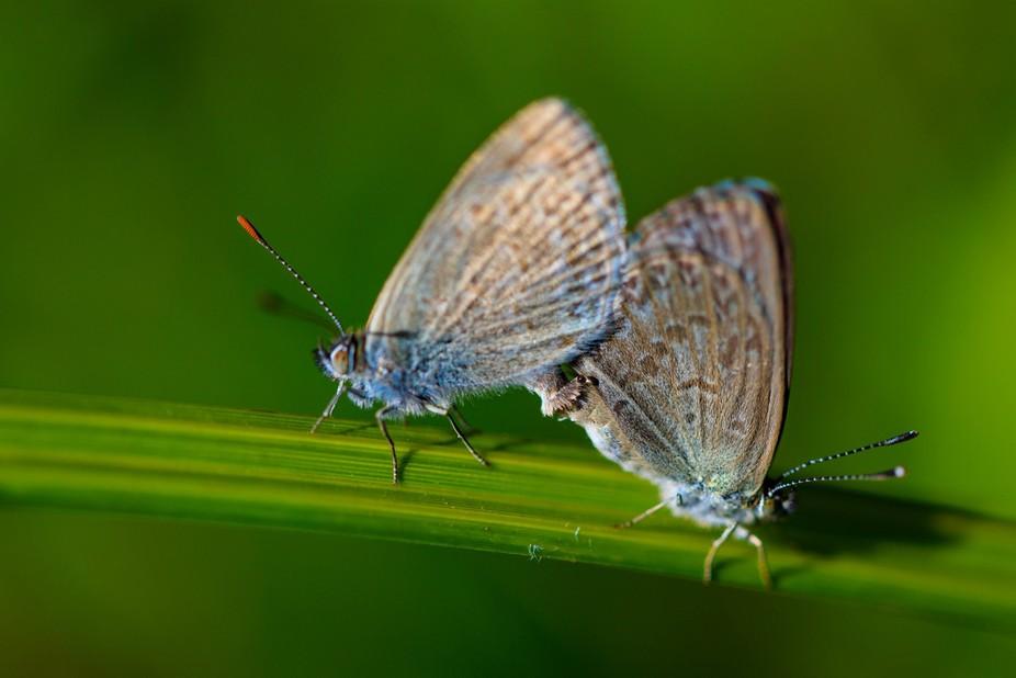 Southern Blue butterflies mating