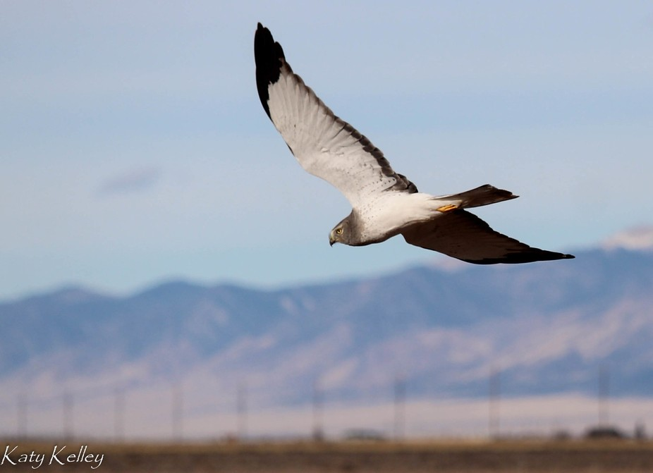 Hawk hunting a farm field near Mosca, Colorado