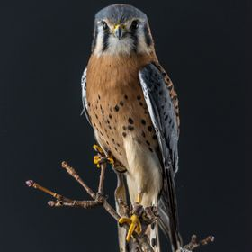 Male American Kestrel at the Birds of Prey Photography workshop hosted by Michigan Avian Experience