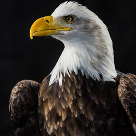 American Bald Eagle at the Birds of Prey Photography workshop hosted by Michigan Avian Experience