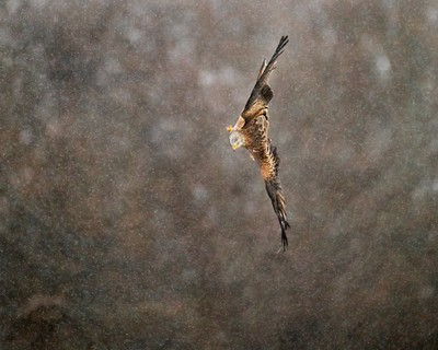 Red Kite Diving in the Rain